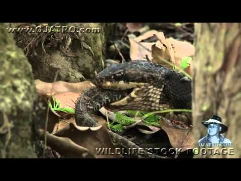Rắn hổ mang ăn thịt rắn đuôi chuông