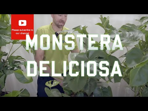 All you need to know about Monstera Deliciosa