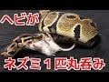 ボールパイソンがマウスを丸呑みする様子 の動画、YouTube動画。