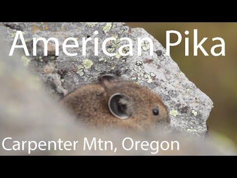 American Pika (Ochotona princeps), Carpenter Mtn, H.J. Andrews Forest, Oregon, USA