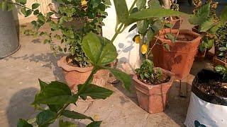 HOW TO GROW HARSINGAR PLANT PARIJAT PLANT EASILY IN POT