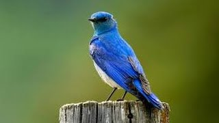 Ron singing blue bird from naruto shippuden