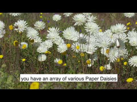 Paper Daisies / Everlastings