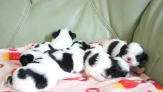 2013年8月25日生まれの狆の子犬です。 http://wanboh.net/item/japanese...