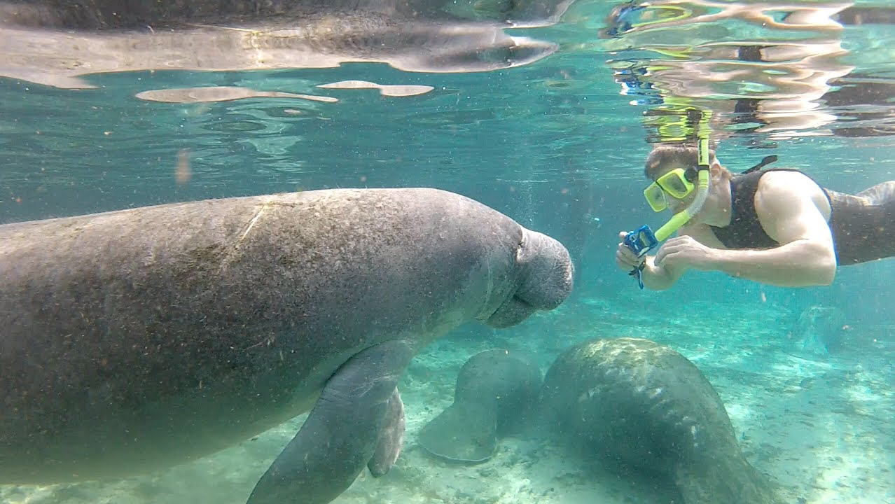 Swimming with florida manatees youtube for Swimming images