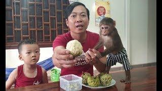 Baby Monkey   Monkey Doo's Style Of Eating Custard Apple Like Baby Human