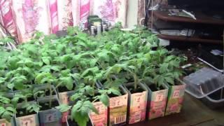 Обзор рассады лука, перцев и томатов.