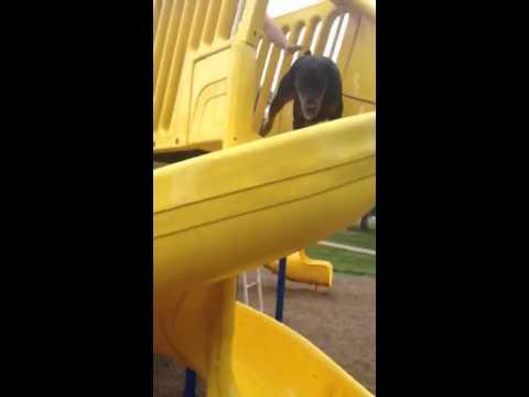 Doberman slide