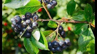 Черноплодная рябина - Свойства Рецепты Противопоказания