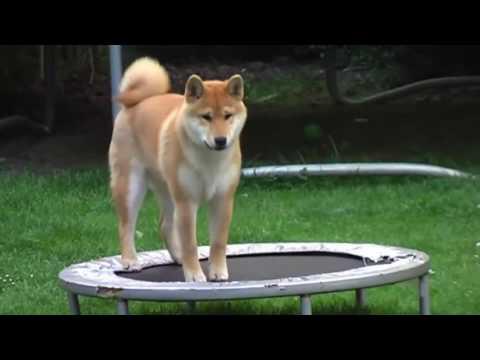 Doge Does Epic Tricks - Shooting Stars