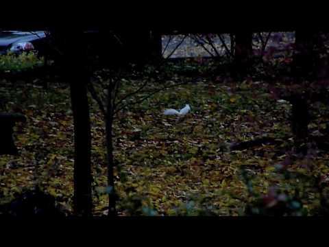 The White Squirrel of Arden
