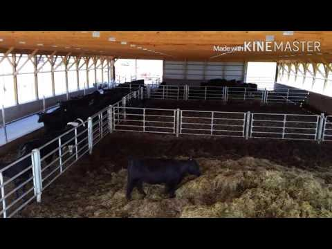Overview of our cattle barn and feed lot used for black angus