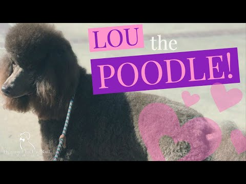 DITR- Grooming a chocolate standard Poodle with red painted toenails, bows, and bling!