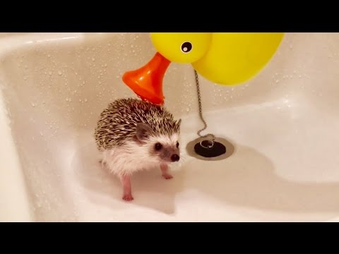 Hedgehog's bath