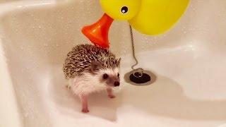 かわいすぎる!!はりねずみをお風呂に入れる方法を紹介した動画は見ているだけで癒される