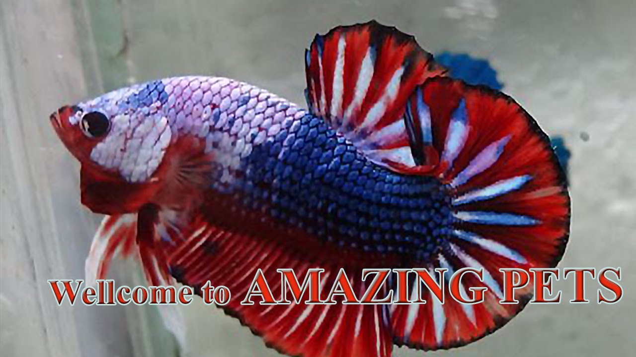 Fancy betta fish - YouTube