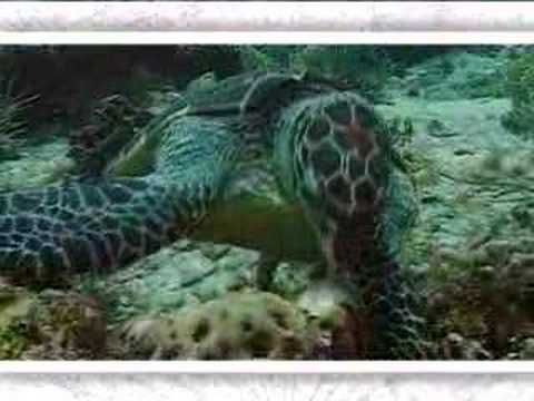 Hawksbill turtle - victim of climate change