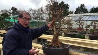 This video is about how to create large trunk Maple into a Bonsai.