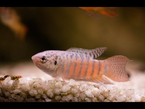 Aquarium Fish Species Profile: Paradise Gourami (Macropodus Opercularis)