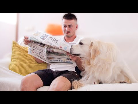 What Does My Golden Retriever Do When I Read a Newspaper