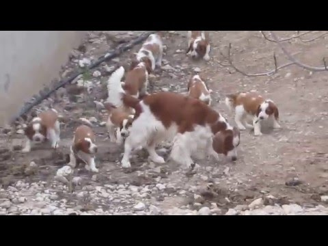 Welsh springer spaniel puppies playing in the garden with Jade