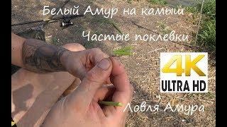 На рыбалке. Белый амур на камыш. Рыбалка Видео 4К  2017