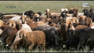 Агросектор. Развитие овцеводства в Казахстане