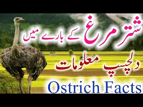 Ostrich Information Urdu Hindi Shutar Murgh History Facts New