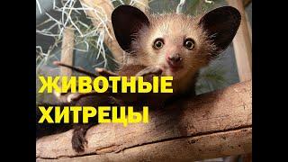 удивительная природа как проявляется хитрость животных.отъявленные мошенники в животном мире