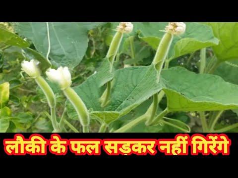 bottle gourd fruits लौकी के फल सड़कर नही गिरेगें ।। तो अभी करें यें उपाय और फलों को गिरने से बचायें