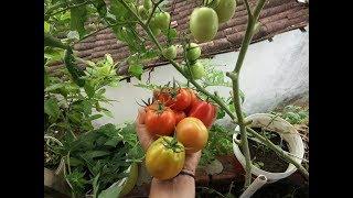 Como plantar tomate da forma mais fácil
