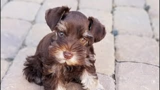 BEAUTIFUL Mini Schnauzer Puppy For Sale  TRAINED!!