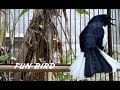 Pancingan Suara Kicau Burung Kacer Agar Kacer Lain Emosi Dan Bongkar Isian  Mp3 - Mp4 Download