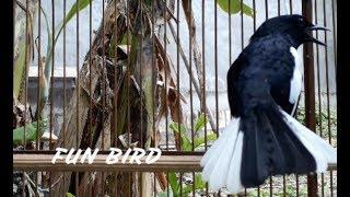 pancingan Suara kicau burung kacer agar kacer lain EMOSI dan bongkar isian