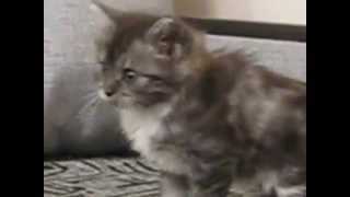 Курильский бобтейл котята