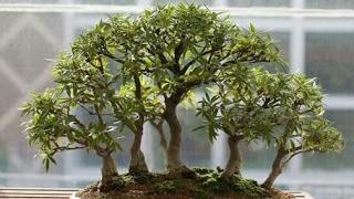 Making of Bonsai tree