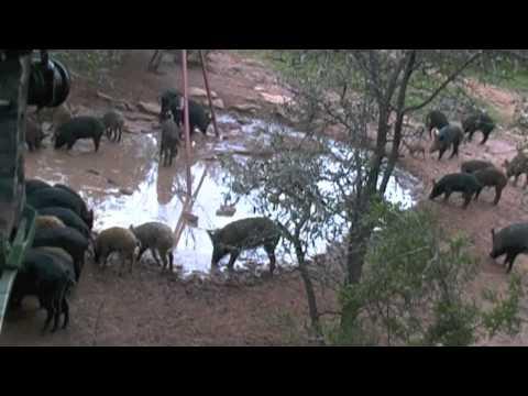 Spring break hog hunt-Diamond C bow hunting ranch