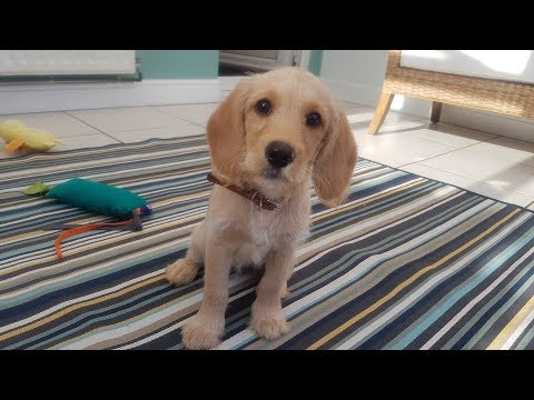 Nutmeg  12 Week Old Labradoodle Puppy  2 Weeks Residential Dog Training