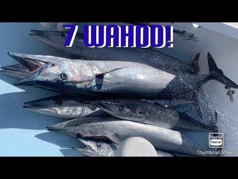 7 Wahoo On Gringo Charters! Bermuda Fishing Ep. 3