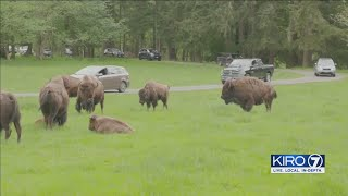 VIDEO: Northwest Trek reopens, allowing guests to drive their cars in park