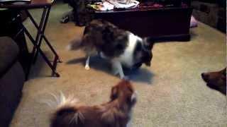 Sheltie Playing Pattycake