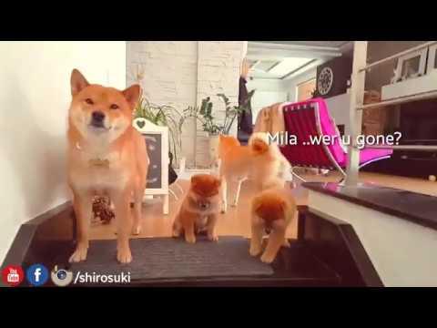 Can we has famblee foto? MLIP / Ep 149 / Shiba Inu puppies