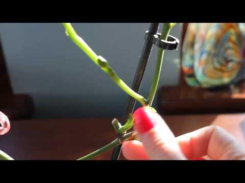 Детка орхидеи переросла в цветонос... такое возможно ))
