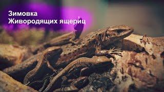 Животные ОбзорЫ - Зимовка Живородящих ящериц  Zootoca vivipara
