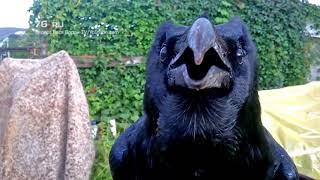 Говорящий ворон Вася