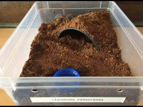 Lasiodora Parahybana Salmon Pink Bird Eater, Rehousing, And First Feed After Moult.