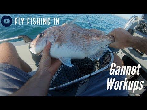Fly Fishing Hauraki Gulf Gannet Workups