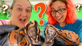 IS THIS A NEW MORPH?? MYSTERY ORANGE BALL PYTHONS HATCH! | BRIAN BARCZYK