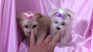 Tinkerbell The Tiny Maltese Puppy & Marilyn Monroe The Tiny