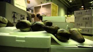 Officers Inspect Geoduck at Sea-Tac Airport